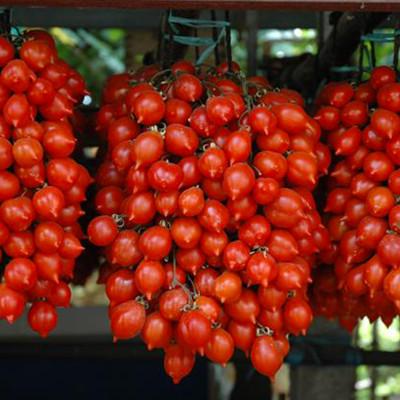 Pomodorino del Piennolo Vesuvio DOP